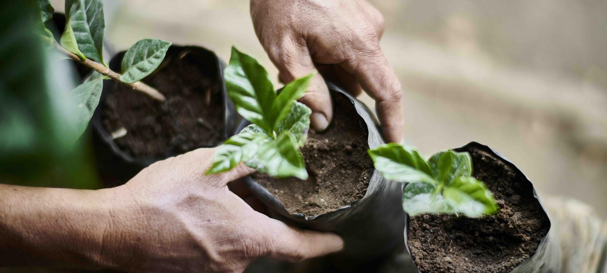 Kahvipensaan istuttaminen on ilmastoystävällinen teko.